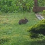 Bunnies right outside the window of my window.
