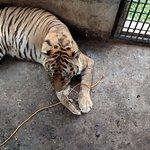 even a few tigers