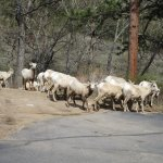 Big Horn Sheep Ewes