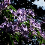 Rhododendron - early May