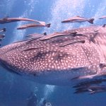 Whale Shark - Discover Scuba - 01 May 2017