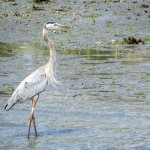 A Great Blue Heron spotted enroute