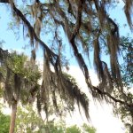 Spanish Moss branches:There isn't anything that gives the feel of Southern lure.