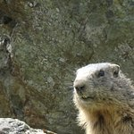 Marmot spotting!