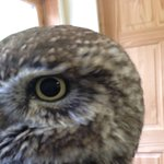 Up close and personal with a Little Owl.