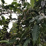 Kona Joe's was a nice stop in Kona! Expensive coffee but it's hand picked and grown in a very un