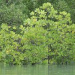 Rhizophora in the front is a type of mangrove found in Langkawi