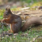 Red Squirrel in the grounds