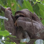 Three toed sloth in Manuel Antonio