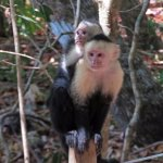 The white-headed capuchin