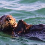 SEA OTTER AT REST