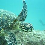Hawksbill sea Turtle  at Caño Island!