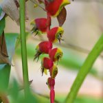 Lobster claw plants grow wild in our jungle trail