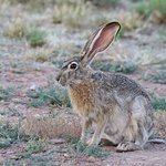 And Black-tailed jack rabbits, too.