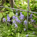 Beautiful Blue Bells in the garden