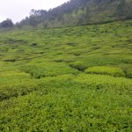 View of the Tea Estate
