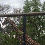 Giraffe had plenty of room to roam about
