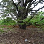 Cedar of Lebanon likely planted during Madison's lifetime. Seedling possible gift from Lafayette
