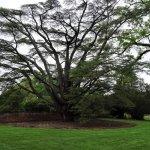 Lafayette's Cedar of Lebanon, gift to Madison (legend)