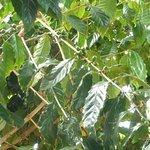 Tropical Farms Macadamia Nut Farm and Farm Tour Foto
