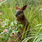 Swamp Wallaby in long grass
