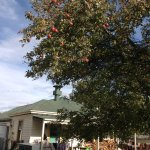 An apple tree beside the cafe