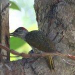 A resident Cardinal Woodpecker in the garden
