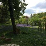 The Bluebells in profusion