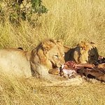 Lions eating their latest kill