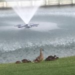 Ducks by the water feature