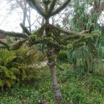 A rare Argentinian monkey puzzle tree out front of the Lodge.