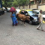 Strange to see a cow in a bustling city but cows are considered sacred in India.