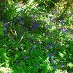 Bluebells in The Black Glen