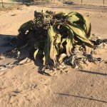 Welwitschia Plains, A Scenic Drive Foto