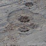 Elephant footprint with fresh Lion footprint in dried up river bed