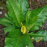 VIBRANT PLANT LIFE (SKUNK CABBAGE)