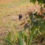 Scrub turkeys roam the park