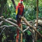 Red mackaw