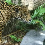 female jaguar