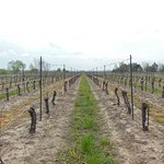 Merlot vineyard