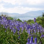 Bluebells with Lake Windermere behind