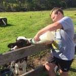 The calf having his morning feed