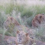 A few of the male lions only a few meters away from the tour vehicle.