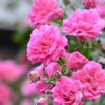 Rose flower beds in the garden