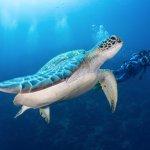Green sea turtle in Bunaken Marine Park.