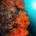 Orange soft coral is a highlight on many Bangka dives.