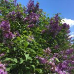 Highland Park - lilacs in bloom