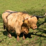 Mucca scozzese dal pelo lungo a Crinan