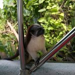 Geoffroy's tamarin (on our boat!)