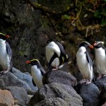 Join an expert guide to see rare Tawaki penguins (Sept-Dec)